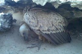 Griffon Vulture Study