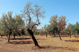 Some almond tree varieties found to be resistant to xylella
