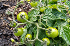 Growing your own tomatoes