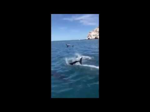 Dolphins frolic off the coast of Soller
