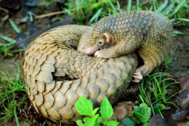 Could Pangolins provide a cure for Covid-19?