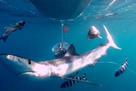 Shark alert in the Balearic Islands
