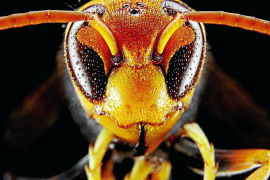 Asian hornet found in Majorca for the first time