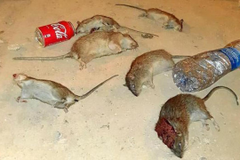 Plague of rats in Camp Redo
