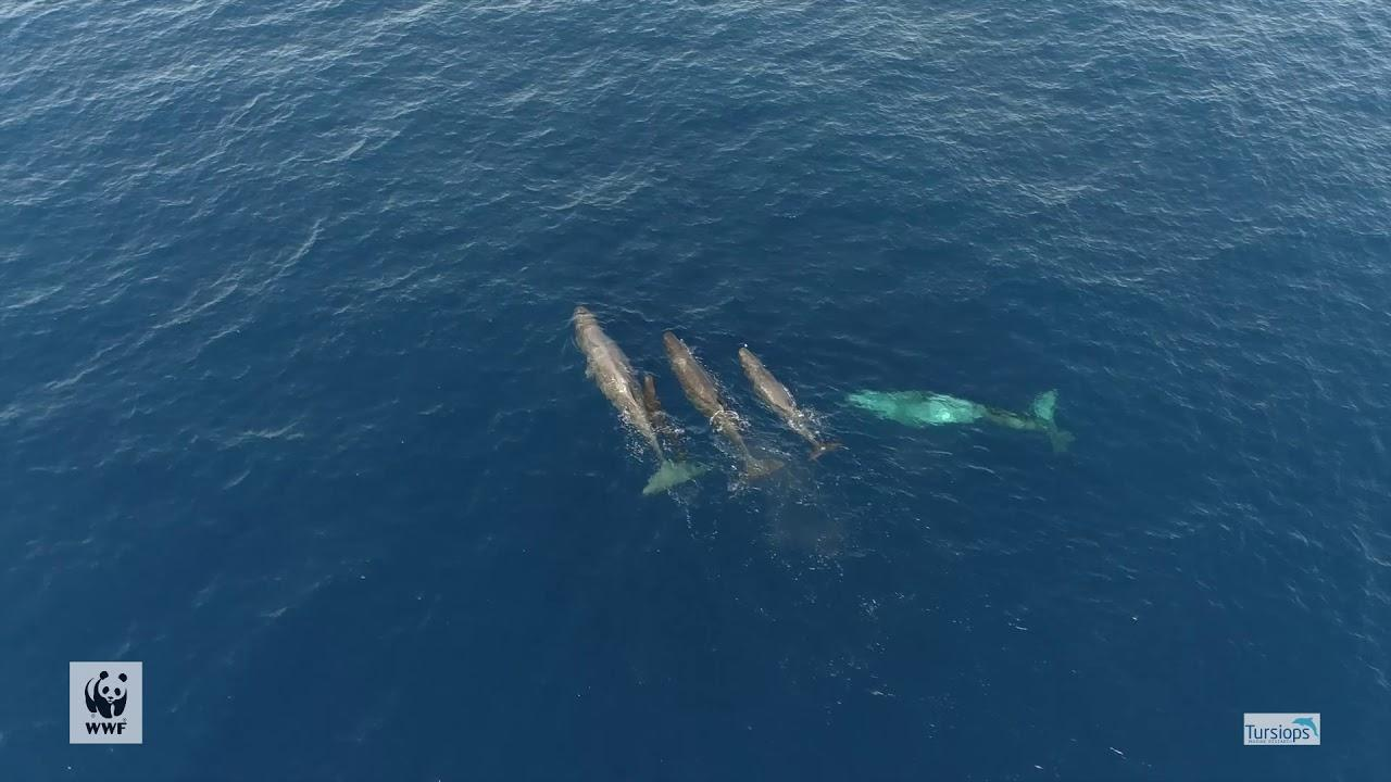 Sperm whale pups in the Balearic Islands