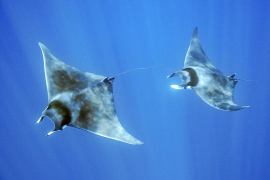 Studying the majestic devil rays of the Mediterranean Sea