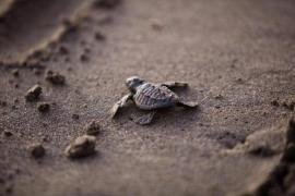 Sea turtles born on es Cavallet beach