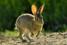 Council to limit the hunting of hares