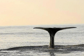 Research finds 400 sperm whales off the Balearics