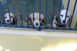 Rise in the number of abandoned dogs at Son Reus