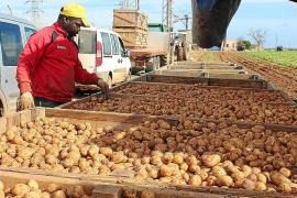 Early start for Sa Pobla new potato export
