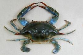 Blue crab fishing in Mallorca