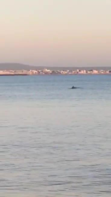 Dophins spotted in the Bay of Palma
