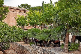 Measures being taken to stop Alcudia goats damaging cars