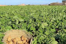 Mallorca asks the UK not to let Brexit affect potato exports