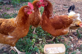Standing around clucking