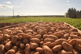 Sa Pobla new potato export to the UK starts