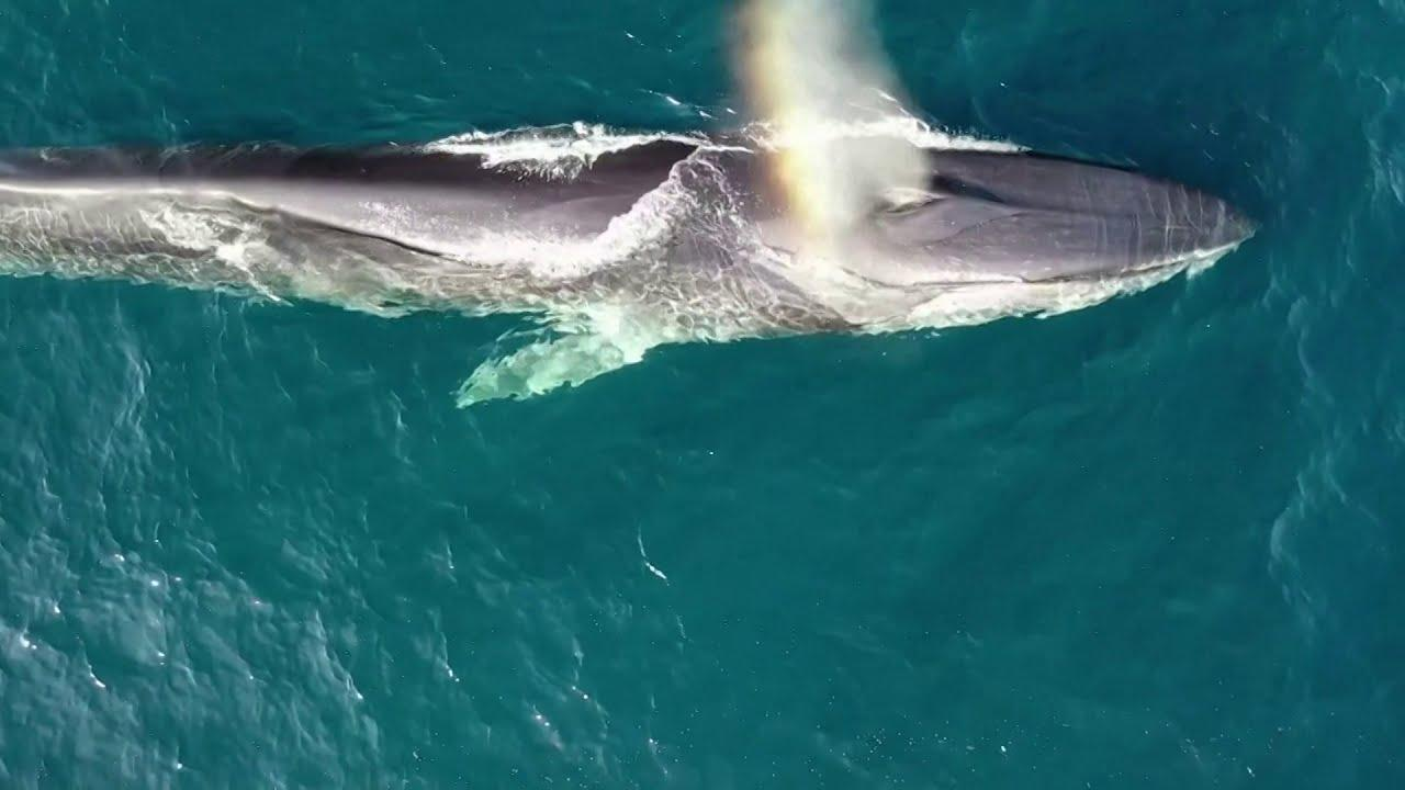 Drones capture fin whales feeding off Spain