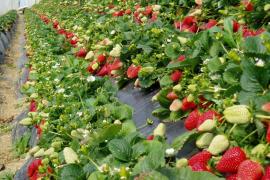 Strawberries are one-season fruit