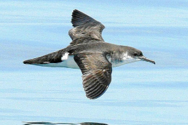 Balearic Shearwater the most threatened of Spain's seabirds