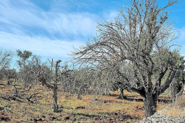 Half of the islands' almond trees have disappeared over the past ten years