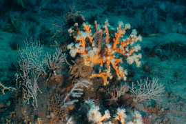 Dendrophyllia ramea