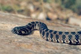 Horseshoe snakes multiplying in Mallorca