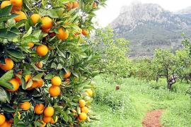 Soller oranges, Mallorca