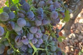 Hailstorms decimate Mallorcan vineyards