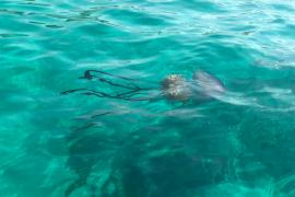 Giant jellyfish off Es Trenc beach