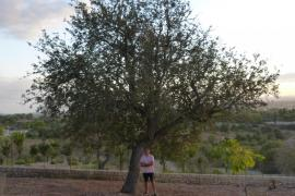 Call to save Mallorca's Atzerolera trees