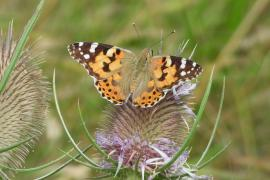Wild Mallorca: Buttercups, Barbury's and a painted lady!