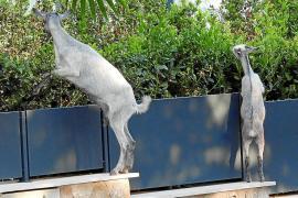 "Goats ""invading"" Camp de Mar again"