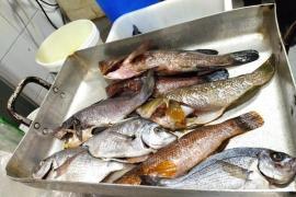 Palma restaurant faces heavy fine for harpooned fish