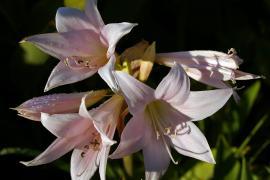 Amaryllis belladonna flowers