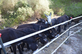 Andratx riverbed cleaning donkeys being targeted
