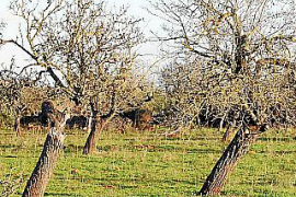 """First case of """"olive ebola"""" in Majorca"""
