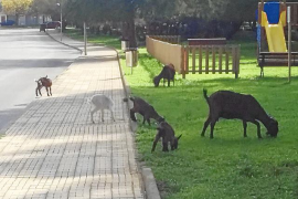 Authorisation for goat cull in Puerto Pollensa
