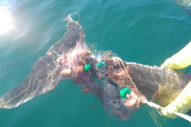 Dolphin entangled in a net for a week is freed