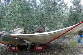 Insufficient resources to fight olive ebola