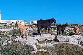Goats responsible for loss of Tramuntana yews