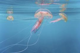 'Pelagia noctiluca' jellyfish
