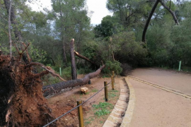Storm Hortense in Mallorca brought down trees