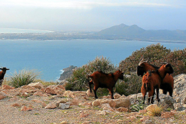 Goats on the Formentor peninsula in Mallorca