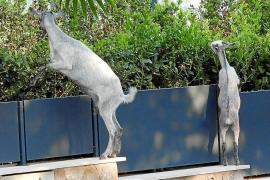 Goats in Camp de Mar, Mallorca