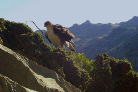 Bonelli's Eagle in Mortitx (Majorca).
