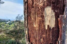 Infected tree in Bellver Forest, Palma.