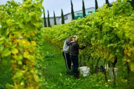 Grapes are harvested at the Haygrove Evolution vineyard in Ledbury