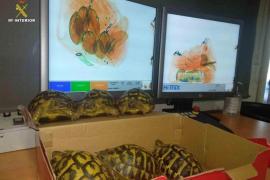 Mediterranean tortoises.